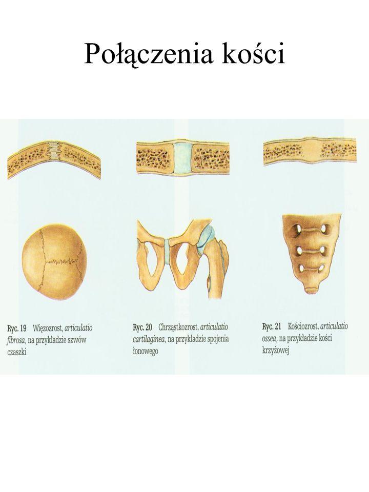 Połączenia kości