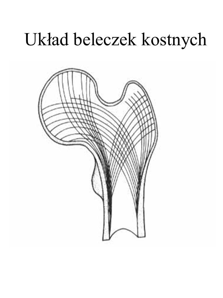 Układ beleczek kostnych
