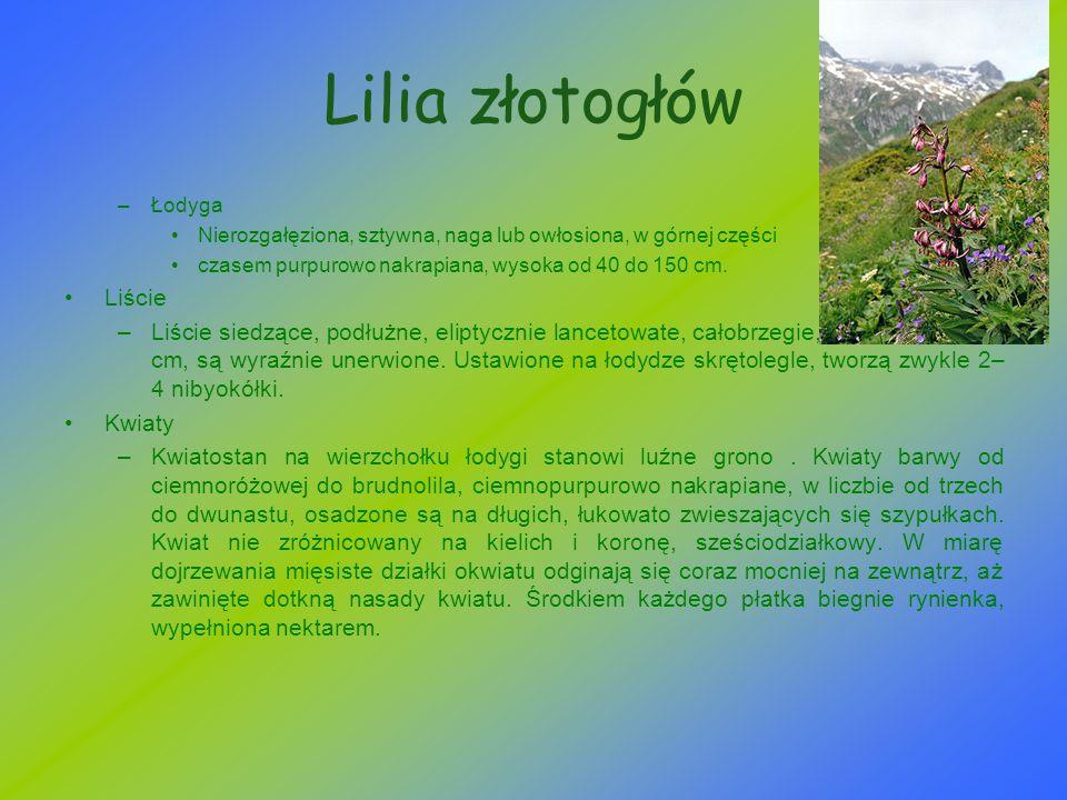 Lilia złotogłów Liście