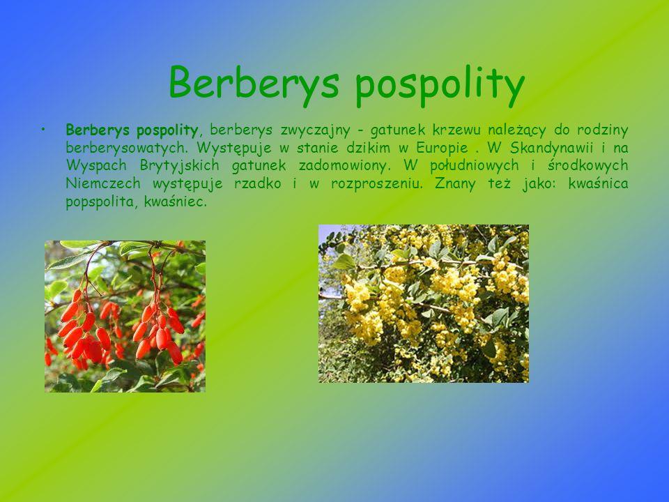 Berberys pospolity