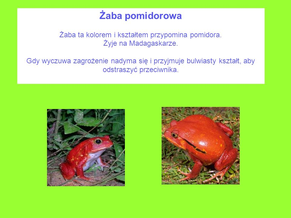 Żaba ta kolorem i kształtem przypomina pomidora.