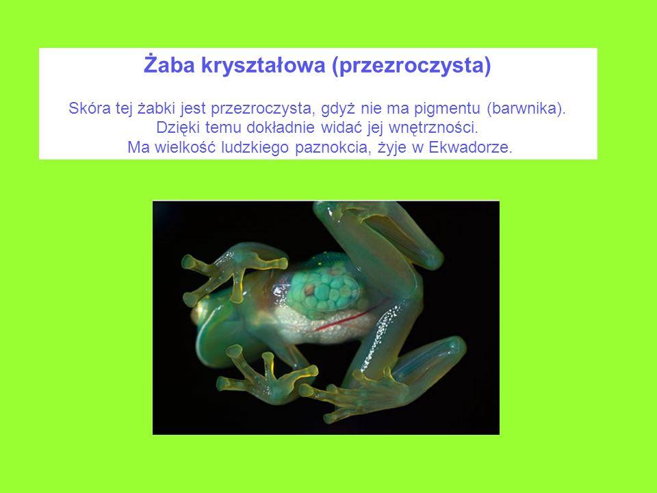 Żaba kryształowa (przezroczysta)