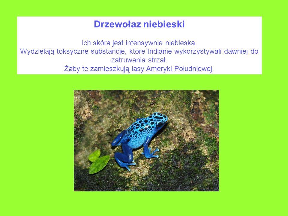Drzewołaz niebieski Ich skóra jest intensywnie niebieska.
