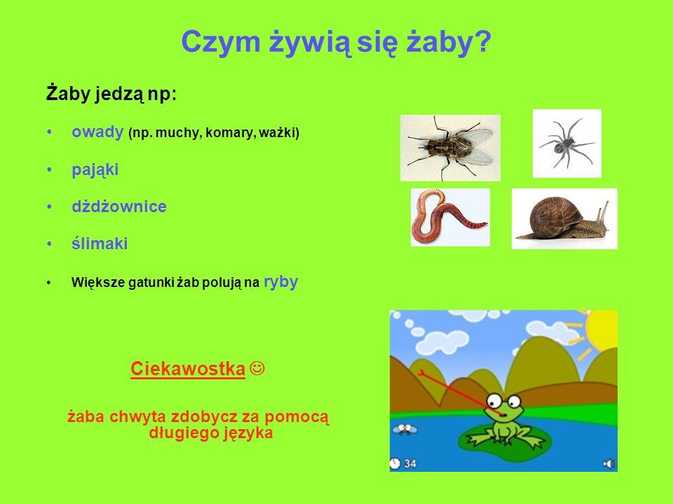 żaba chwyta zdobycz za pomocą długiego języka
