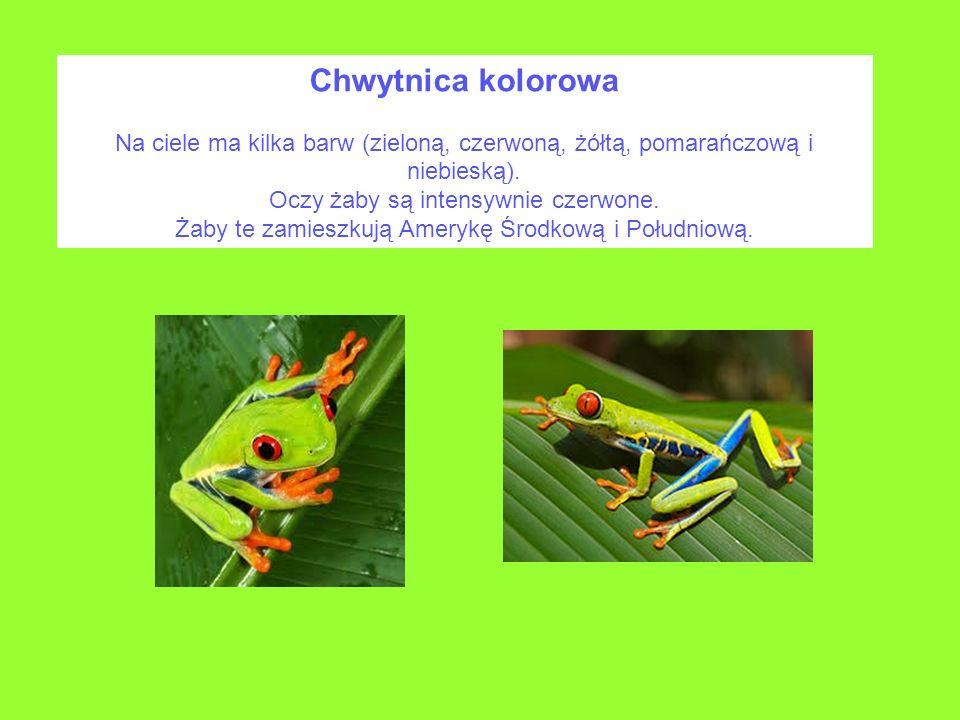 Chwytnica kolorowaNa ciele ma kilka barw (zieloną, czerwoną, żółtą, pomarańczową i niebieską). Oczy żaby są intensywnie czerwone.