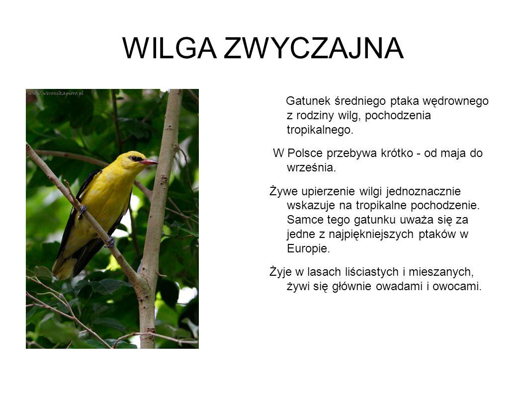 WILGA ZWYCZAJNA Gatunek średniego ptaka wędrownego z rodziny wilg, pochodzenia tropikalnego. W Polsce przebywa krótko - od maja do września.