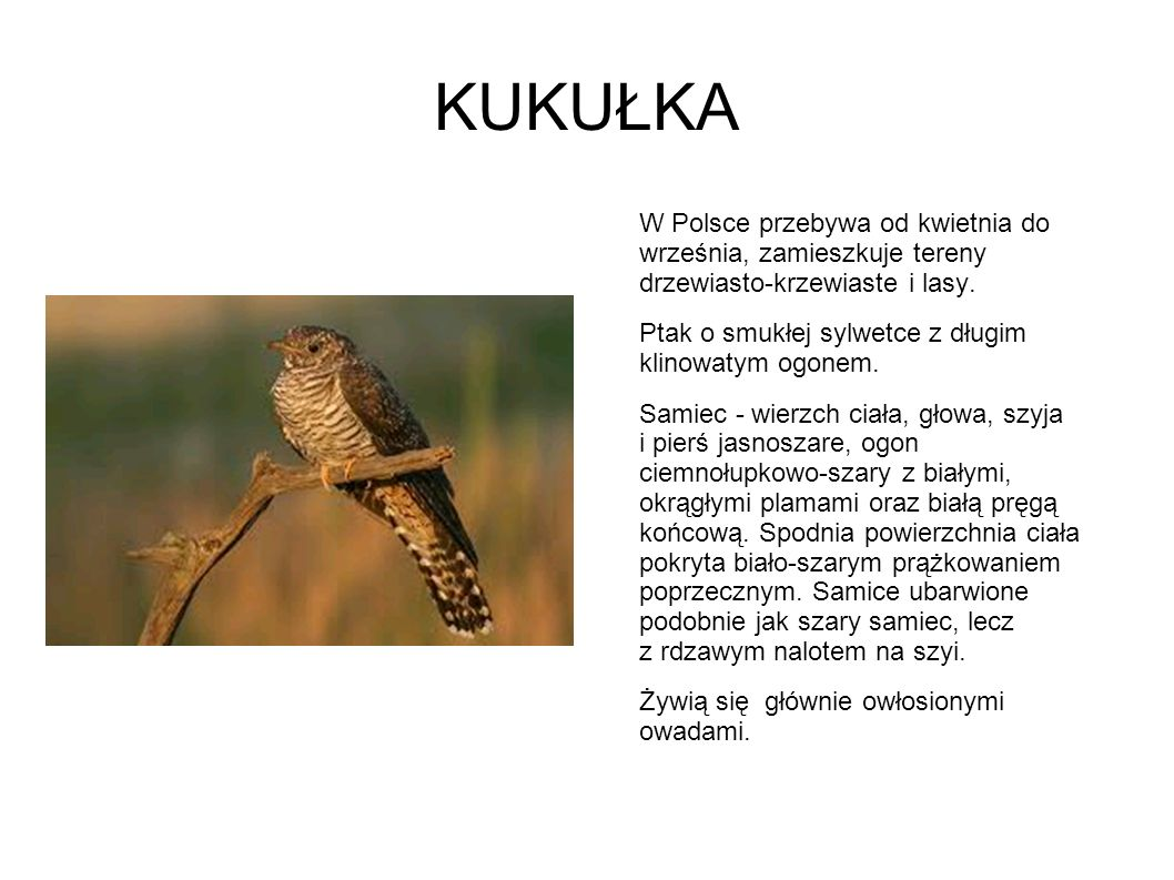 KUKUŁKA W Polsce przebywa od kwietnia do września, zamieszkuje tereny drzewiasto-krzewiaste i lasy.