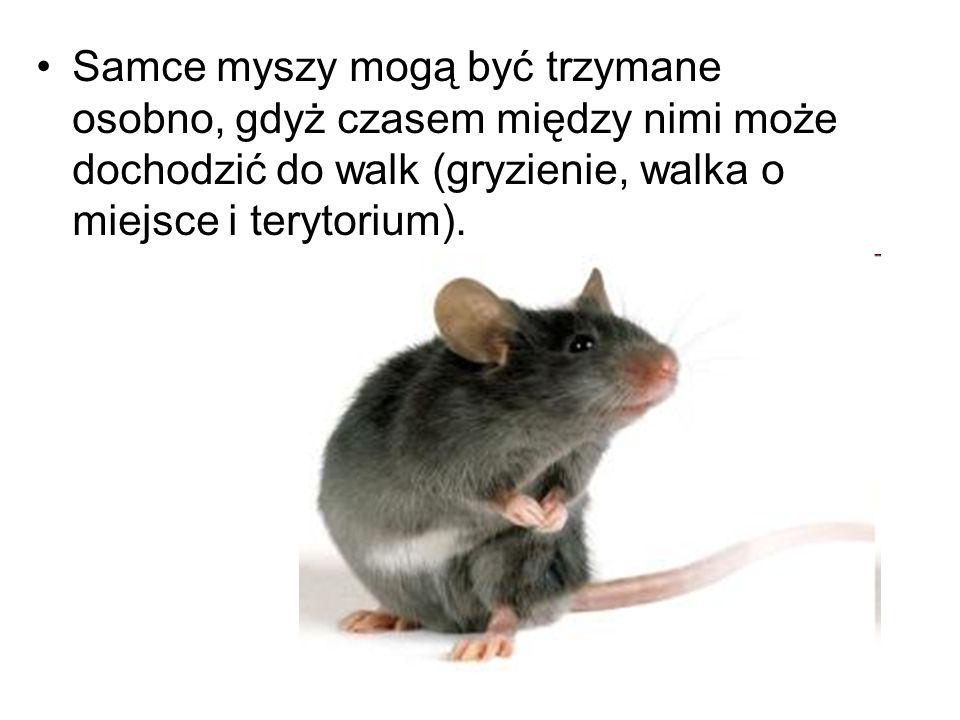 Samce myszy mogą być trzymane osobno, gdyż czasem między nimi może dochodzić do walk (gryzienie, walka o miejsce i terytorium).