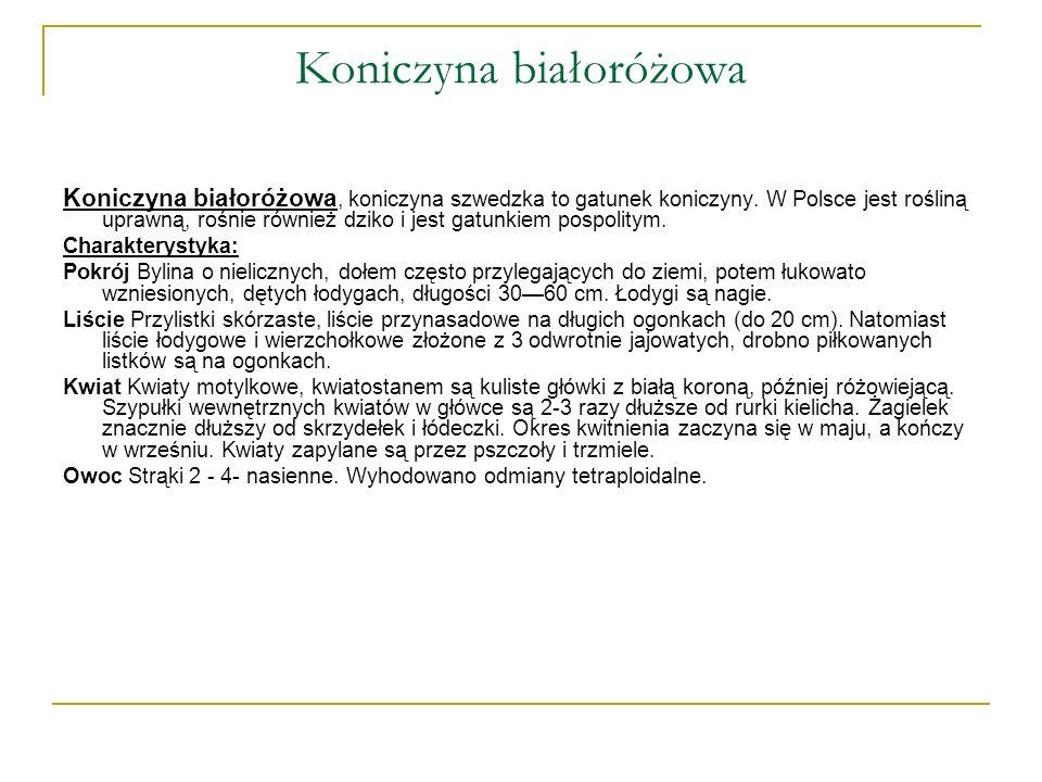 Koniczyna białoróżowa