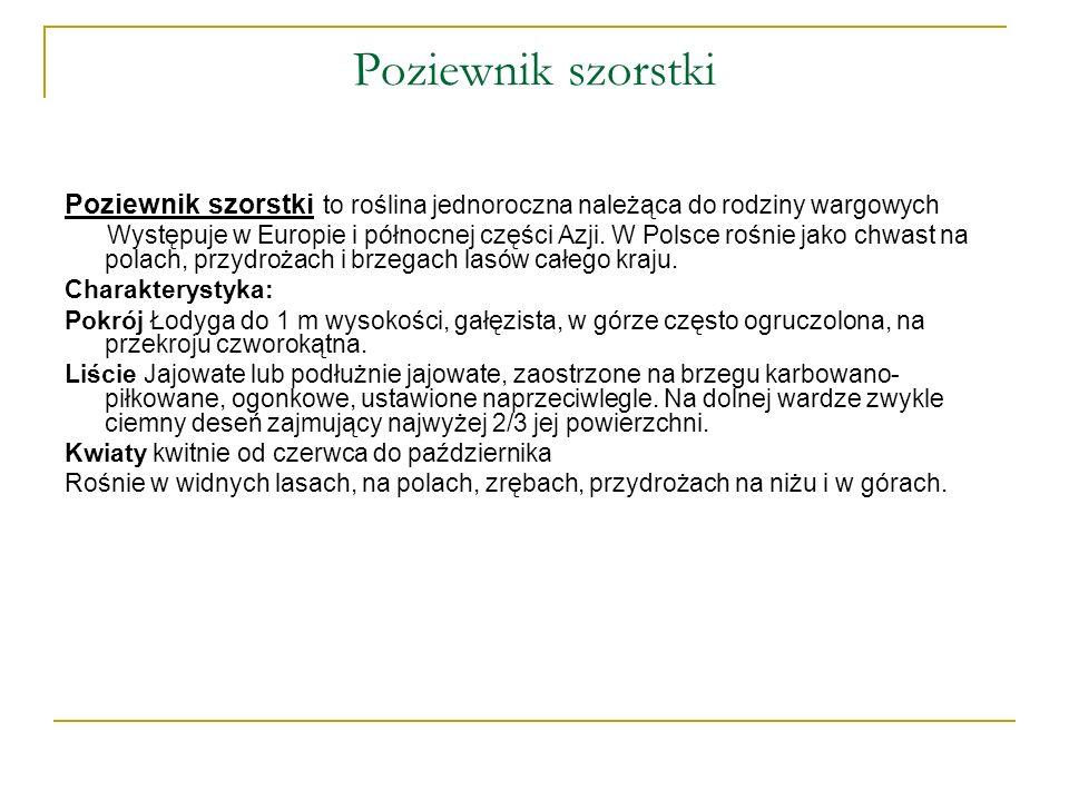 Poziewnik szorstki Poziewnik szorstki to roślina jednoroczna należąca do rodziny wargowych.