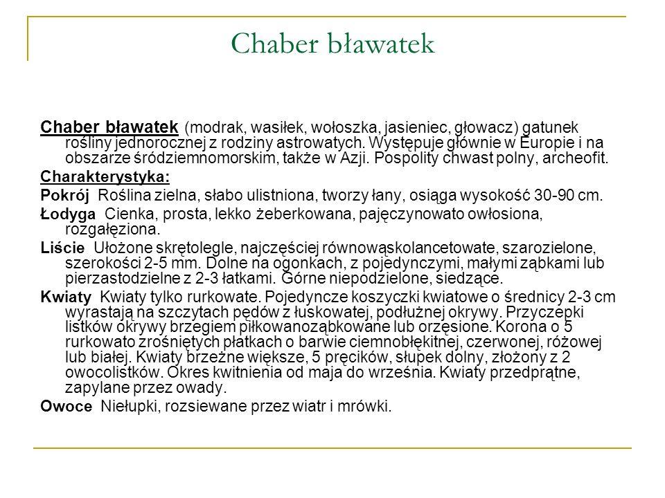Chaber bławatek