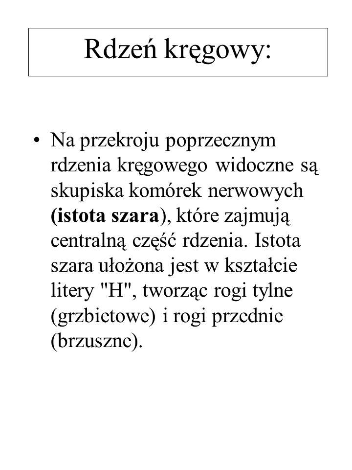 Rdzeń kręgowy: