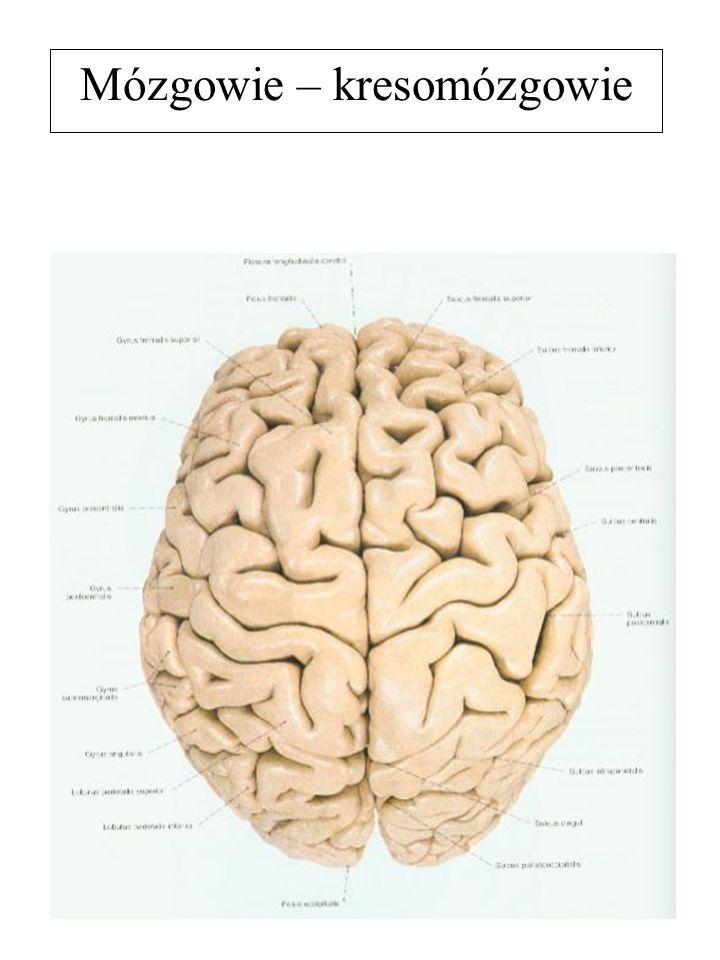 Mózgowie – kresomózgowie