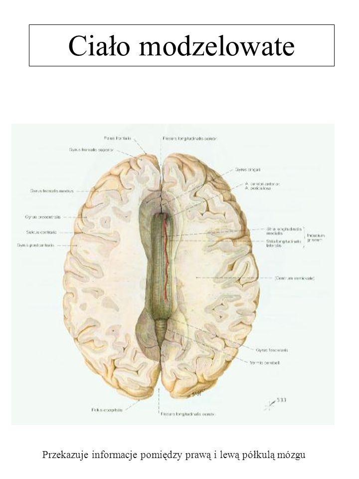 Przekazuje informacje pomiędzy prawą i lewą półkulą mózgu