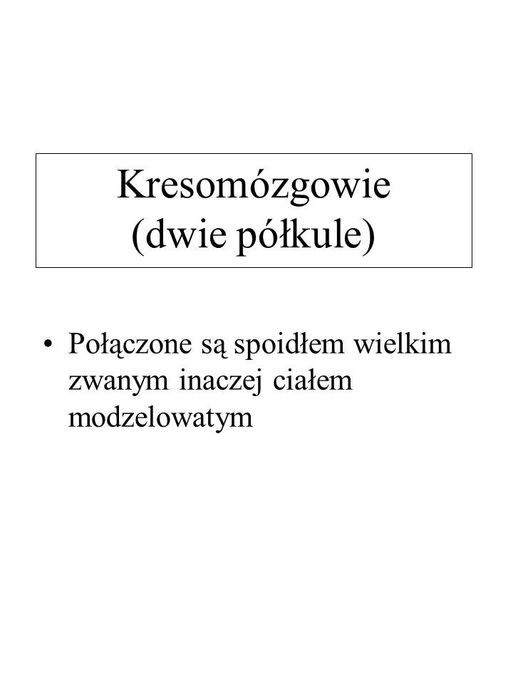 Kresomózgowie (dwie półkule)