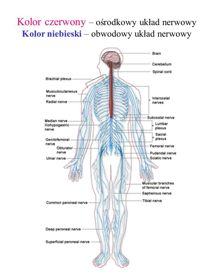Kolor czerwony – ośrodkowy układ nerwowy