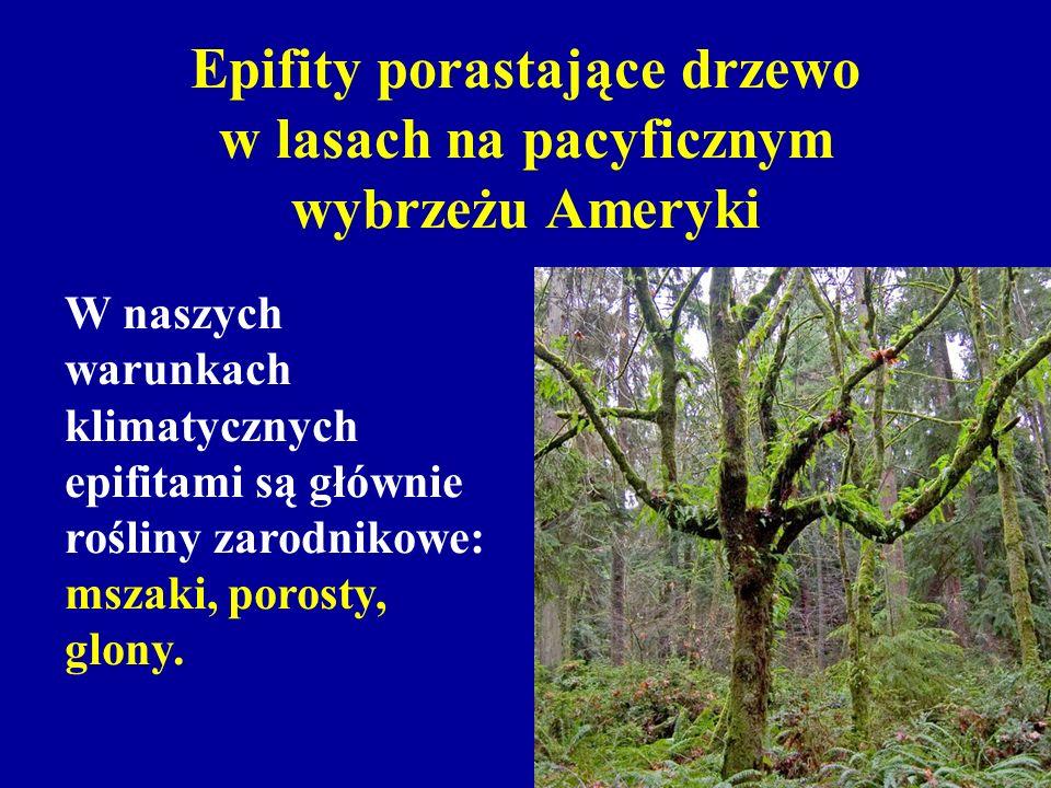 Epifity porastające drzewo w lasach na pacyficznym wybrzeżu Ameryki