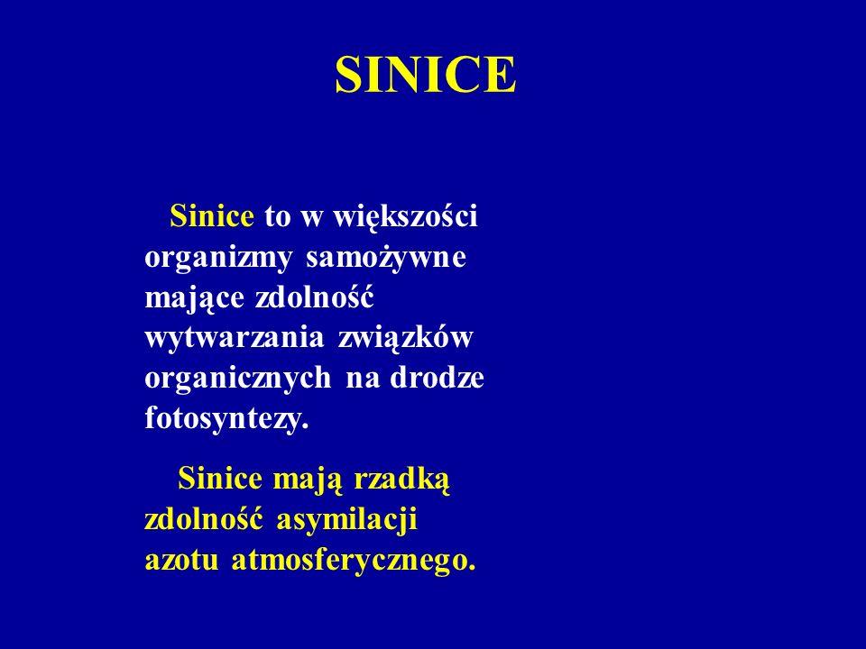 SINICE Sinice to w większości organizmy samożywne mające zdolność wytwarzania związków organicznych na drodze fotosyntezy.