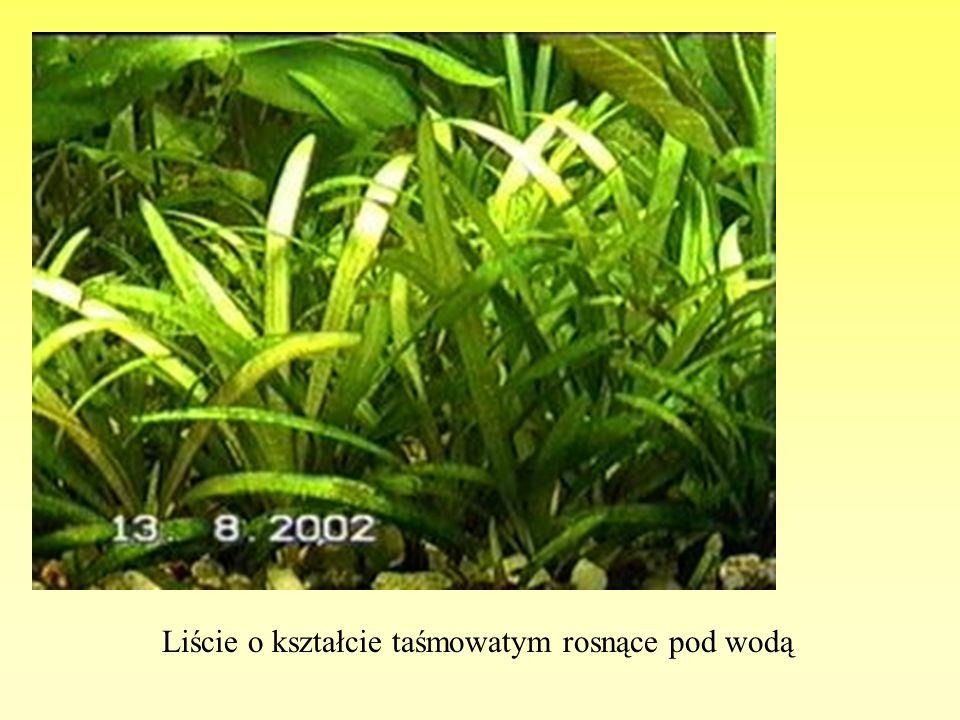 Liście o kształcie taśmowatym rosnące pod wodą