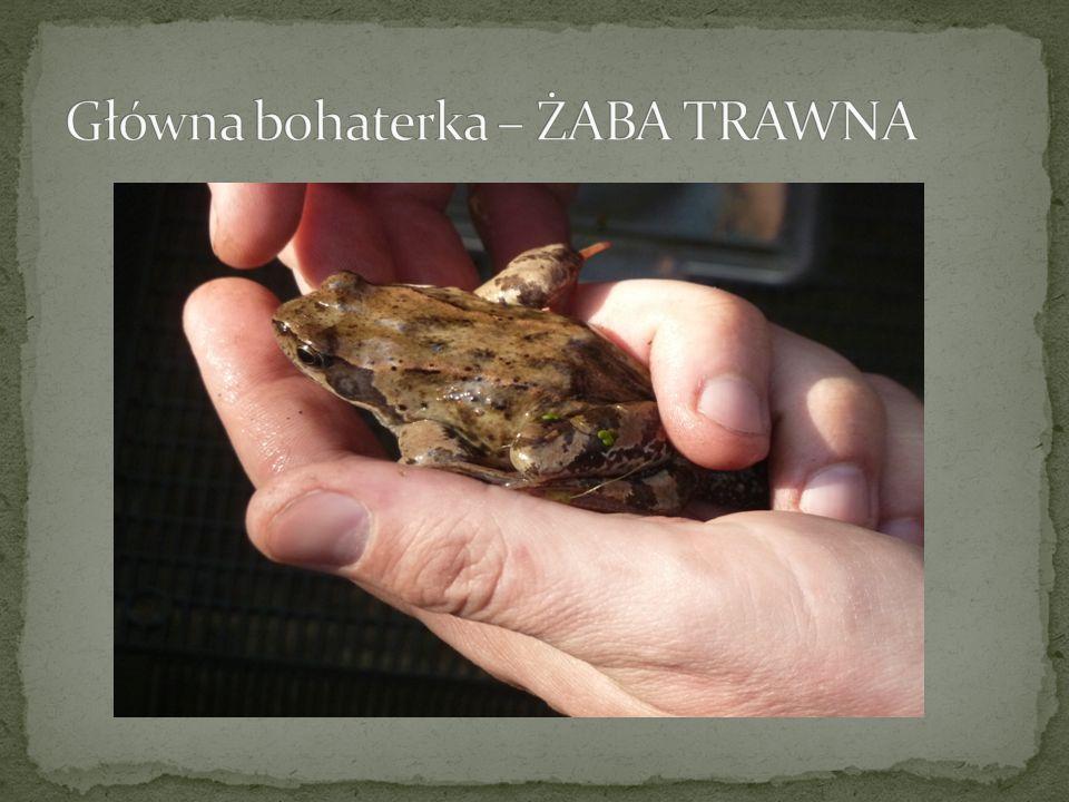 Główna bohaterka – ŻABA TRAWNA