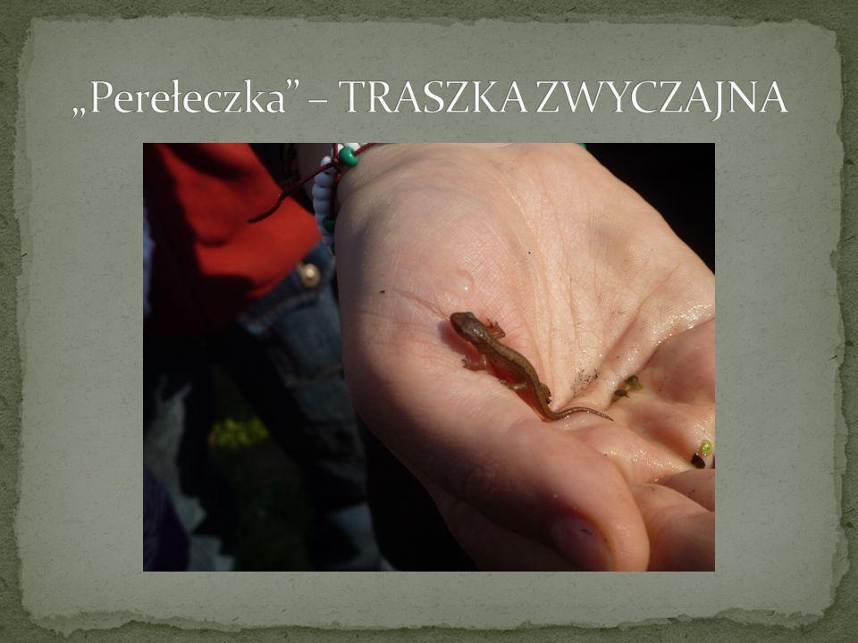"""""""Perełeczka – TRASZKA ZWYCZAJNA"""