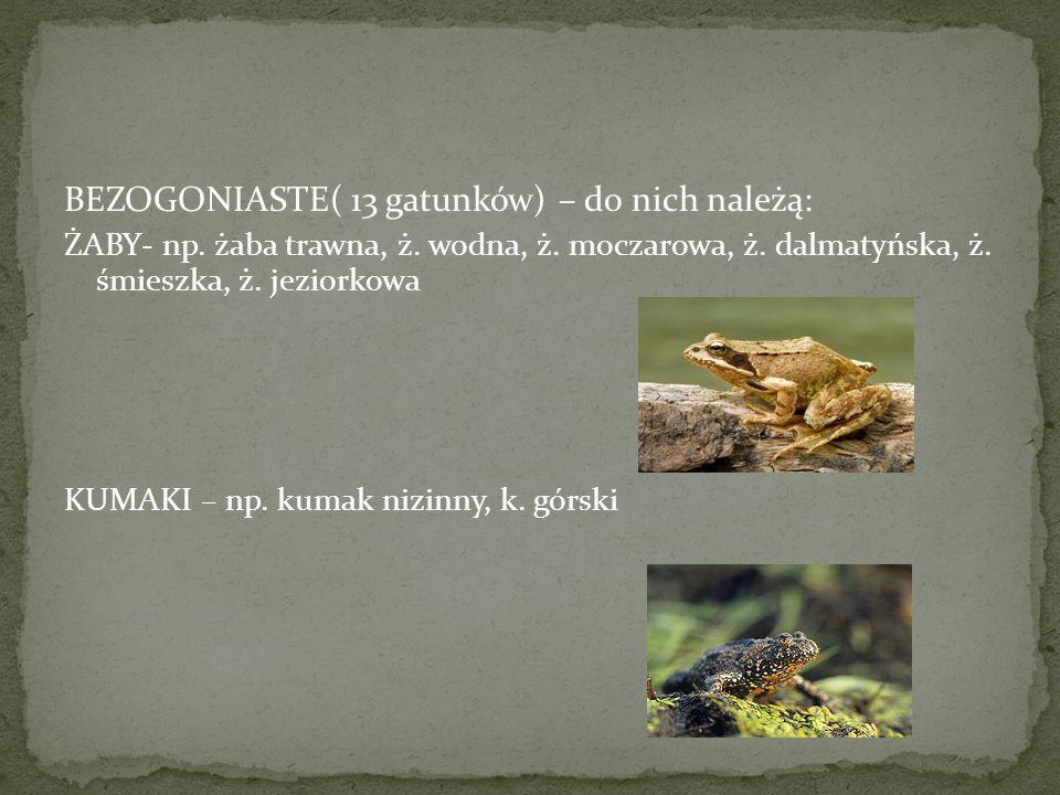 BEZOGONIASTE( 13 gatunków) – do nich należą: