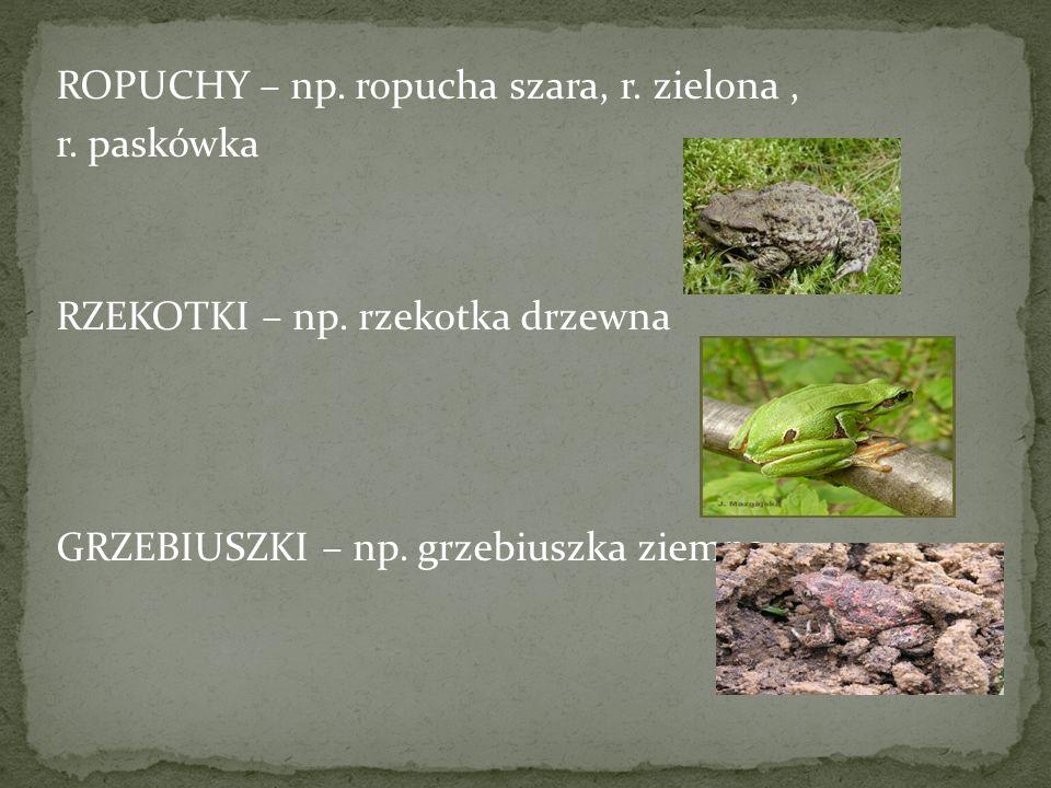 ROPUCHY – np. ropucha szara, r. zielona , r. paskówka RZEKOTKI – np