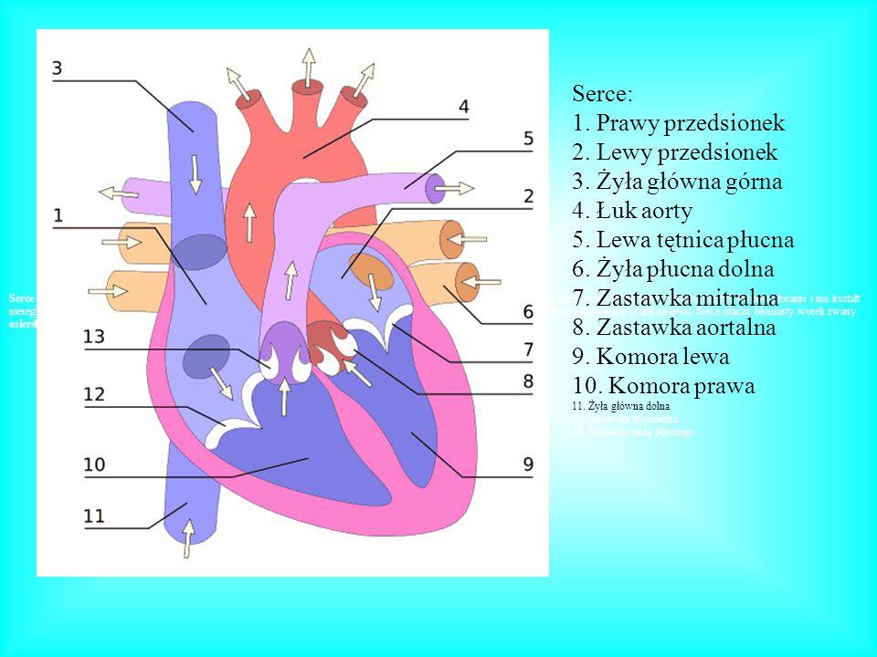 Serce: 1. Prawy przedsionek 2. Lewy przedsionek 3. Żyła główna górna 4