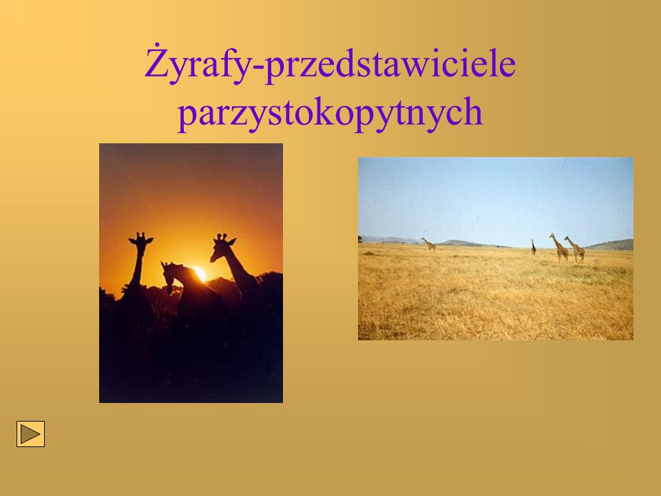 Żyrafy-przedstawiciele parzystokopytnych