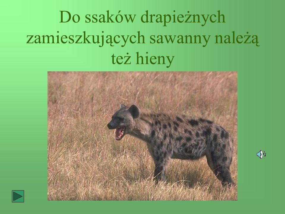Do ssaków drapieżnych zamieszkujących sawanny należą też hieny
