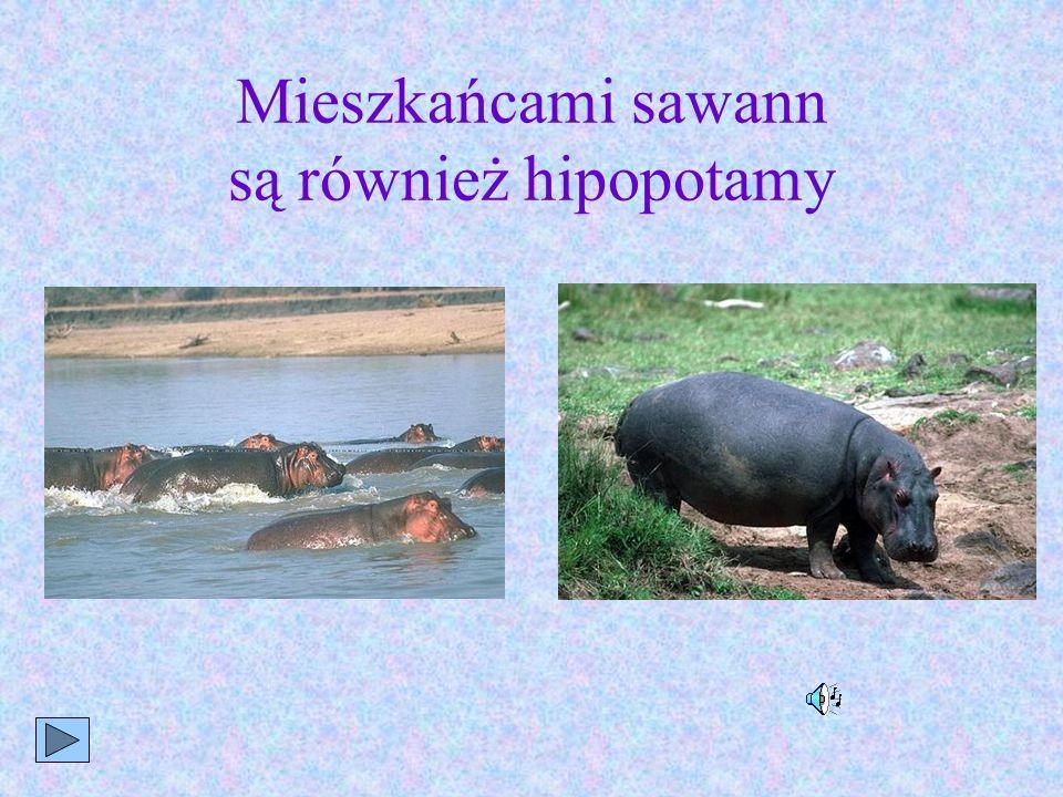 Mieszkańcami sawann są również hipopotamy