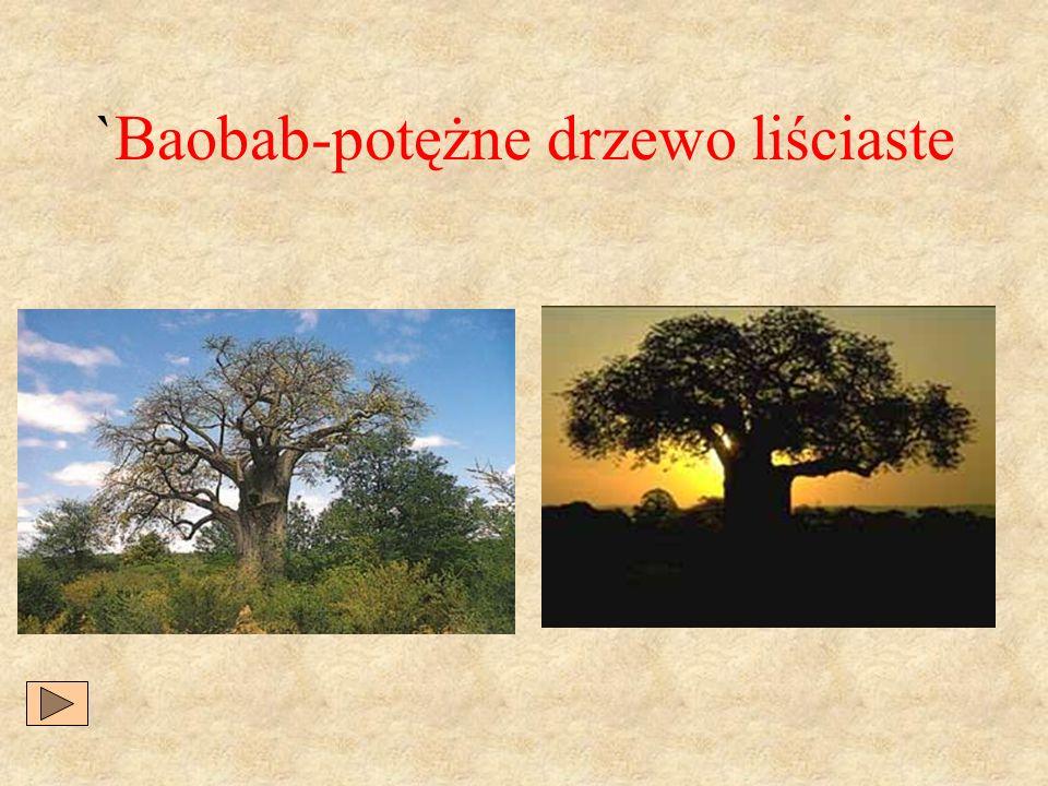 `Baobab-potężne drzewo liściaste