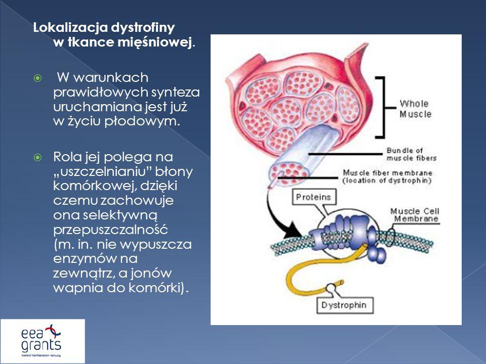 Lokalizacja dystrofiny w tkance mięśniowej.