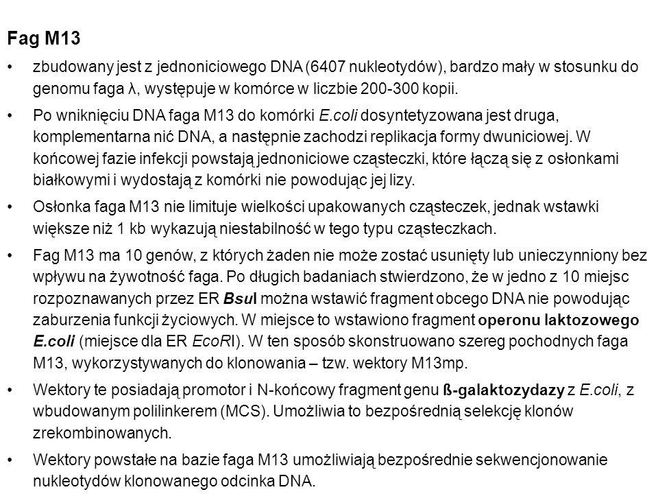 Fag M13 zbudowany jest z jednoniciowego DNA (6407 nukleotydów), bardzo mały w stosunku do genomu faga λ, występuje w komórce w liczbie 200-300 kopii.