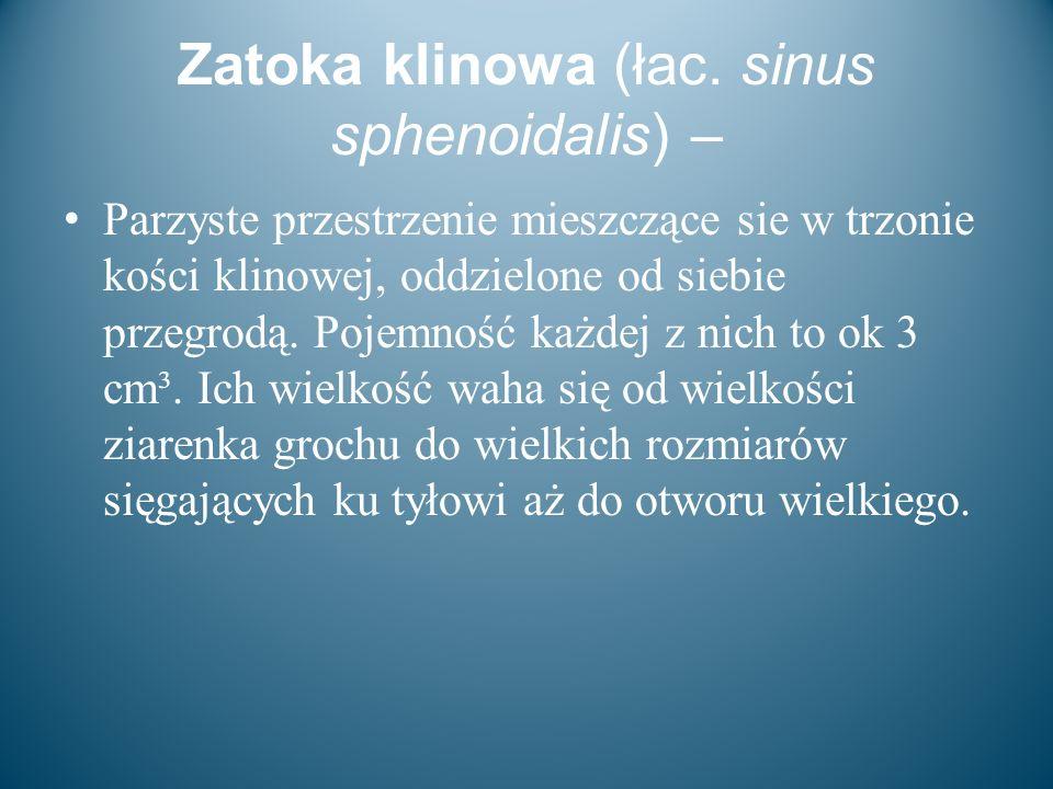 Zatoka klinowa (łac. sinus sphenoidalis) –