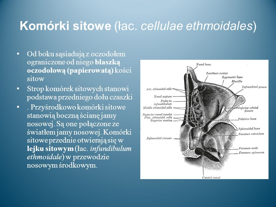 Komórki sitowe (łac. cellulae ethmoidales)