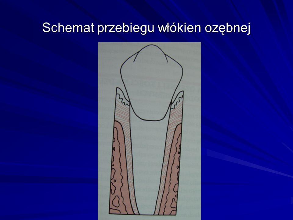 Schemat przebiegu włókien ozębnej