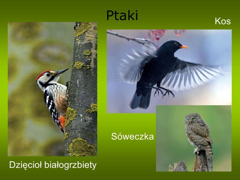 Ptaki Kos Sóweczka Dzięcioł białogrzbiety