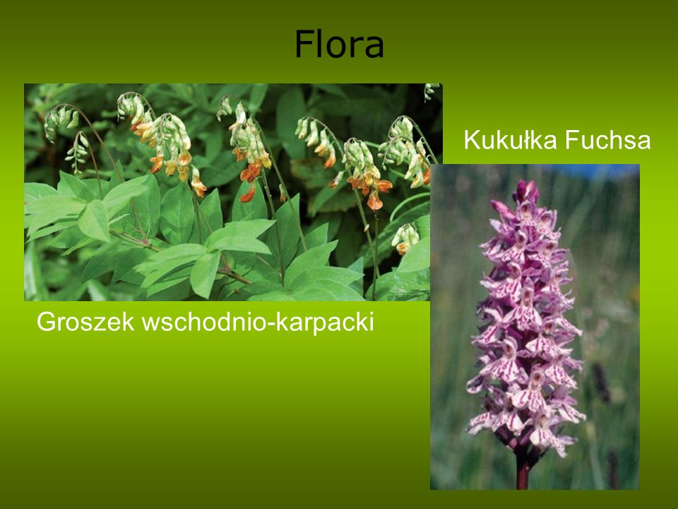 Flora Kukułka Fuchsa Groszek wschodnio-karpacki