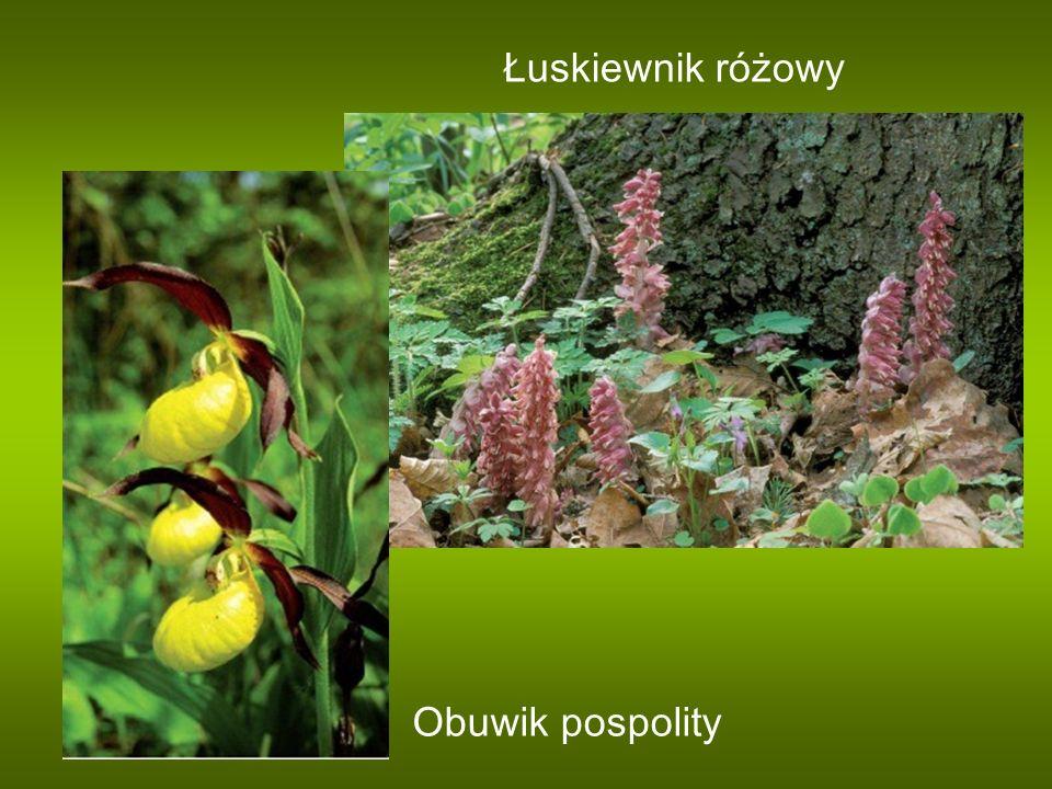 Łuskiewnik różowy Obuwik pospolity