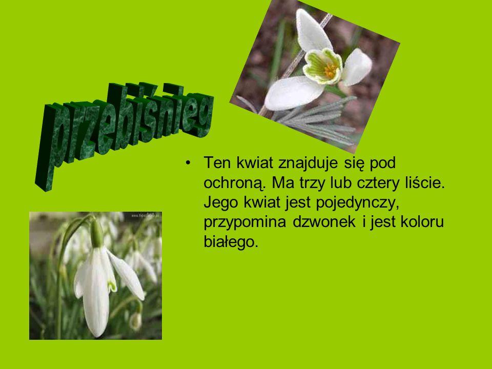 przebiśnieg Ten kwiat znajduje się pod ochroną. Ma trzy lub cztery liście.