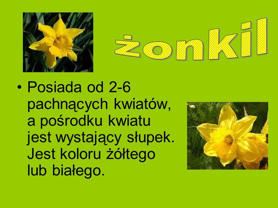 żonkil Posiada od 2-6 pachnących kwiatów, a pośrodku kwiatu jest wystający słupek.