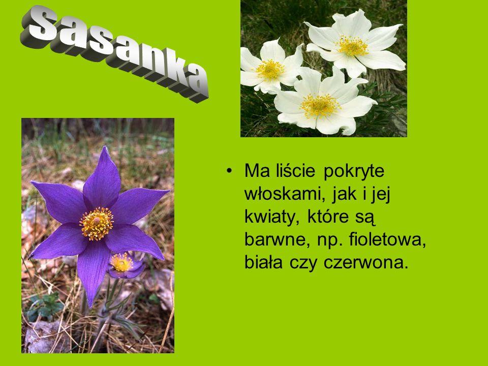 sasanka Ma liście pokryte włoskami, jak i jej kwiaty, które są barwne, np.