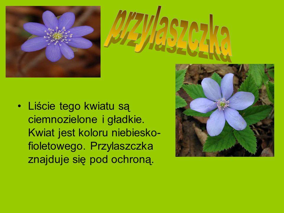 przylaszczka Liście tego kwiatu są ciemnozielone i gładkie.