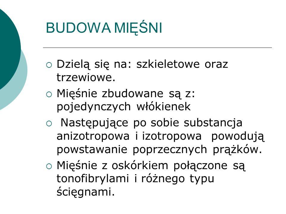 BUDOWA MIĘŚNI Dzielą się na: szkieletowe oraz trzewiowe.