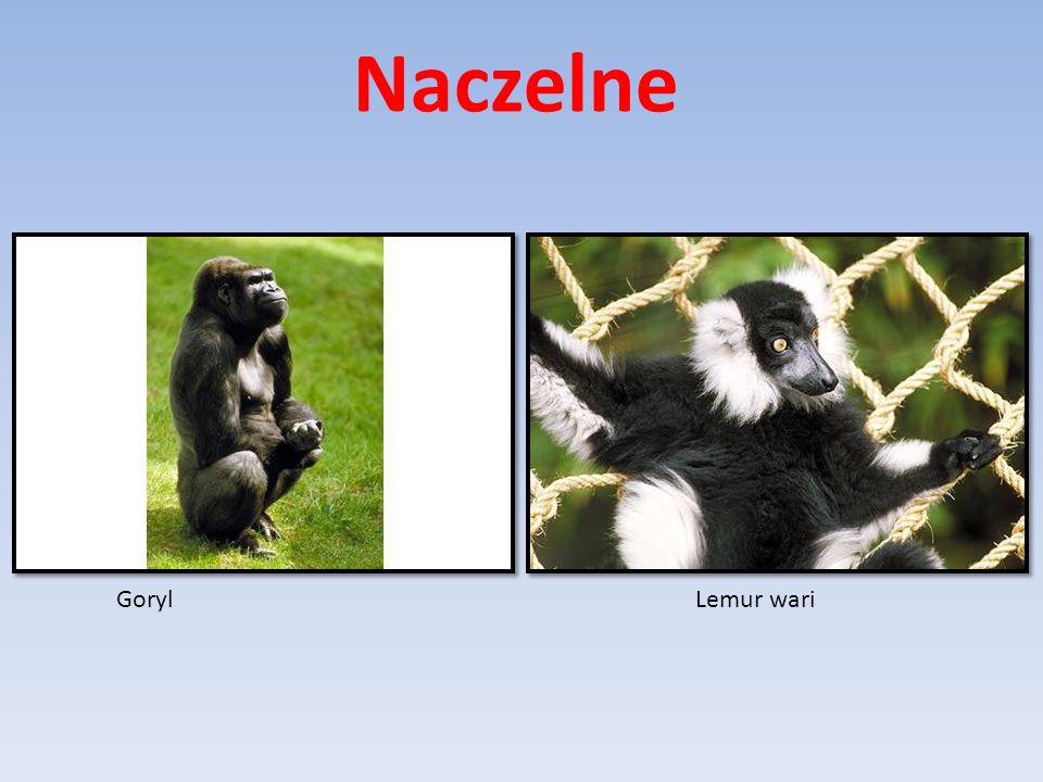 Naczelne Goryl Lemur wari