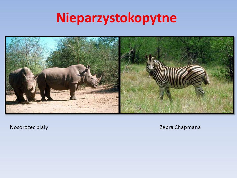 Nieparzystokopytne Nosorożec biały Zebra Chapmana