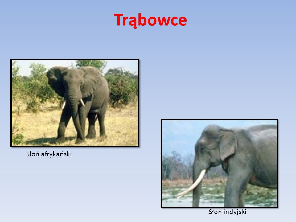 Trąbowce Słoń afrykański Słoń indyjski