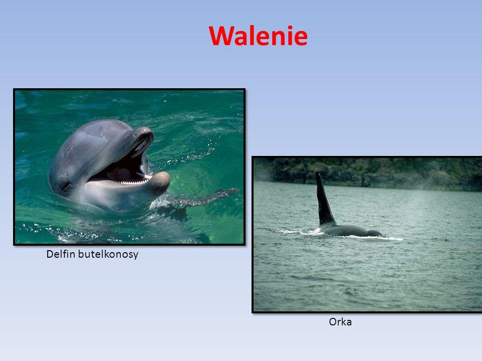 Walenie Delfin butelkonosy Orka