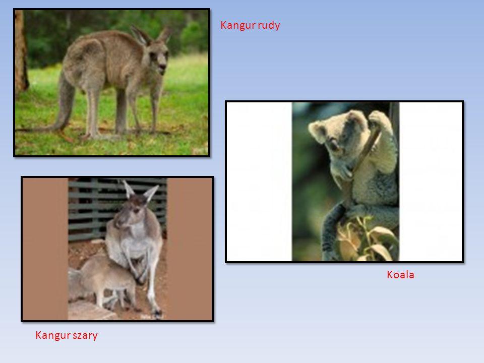 Kangur rudy Koala Kangur szary